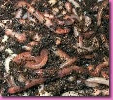 Los caracoles contagiado con los parásitos